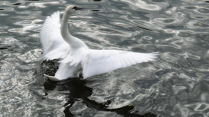 Cigno, mio caro cigno, bianco, piuma, ala, uccello, piumaggio