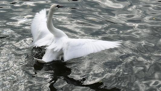 joutsen, minun rakas joutsen, valkoinen, sulka, siipi, lintu, höyhenpeite