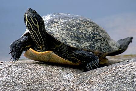 vode želva, plazilcev, narave, želva, živali, živali skorja, prosto živeče živali