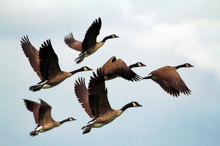 гъски, птици, стадо, дива природа, плаващи, образуване, небе