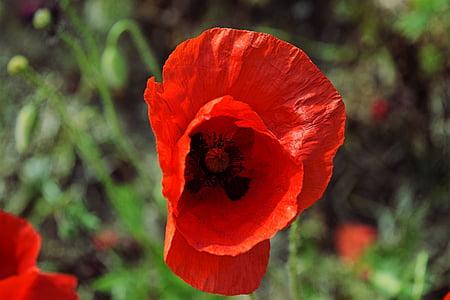 poppy, garden, prato, nature, flower, red, petal