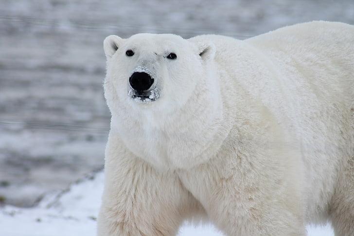 тварини, білий ведмідь, Хижак, сніг, білий, дикі, дикої природи