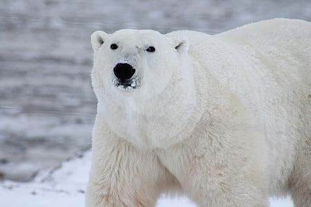 animal, polar bear, predator, snow, white, wild, wildlife