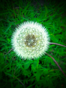 cvet, Regrat, rumeni cvet, plevela, spomladanske cvetlice, vrt