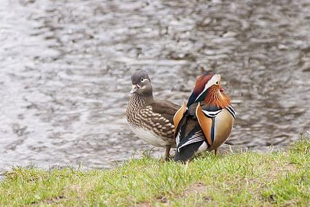 two ducks, water, waterfowl, mandarin duck