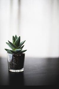 biljka, bonsai, Tablica, staklo, tla, kaktus, zelena