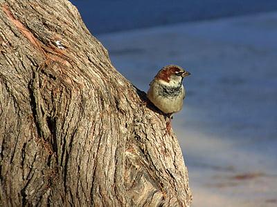 Ave, врабче, птица, малка птичка, фауна, Dom, природата