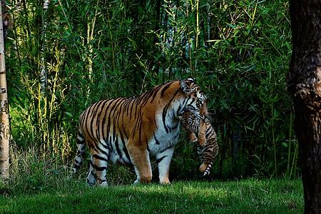 tigre, nadó de Tigre, mare i el nen