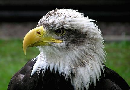 kalju kotka, Adler, Raptor, lintu, lintu vaakuna., Yhdysvallat, valkoinen pyrstö eagle