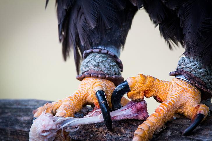 kalju kotka, saalis, Haliaeetusleucocephalus, Adler, Raptor, petolintu, lintu