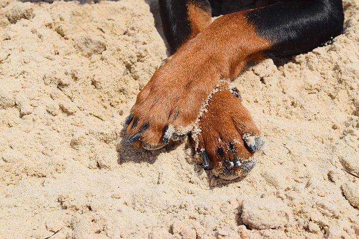 dog, pinscher, paws, pets, pet, animal, man's best friend