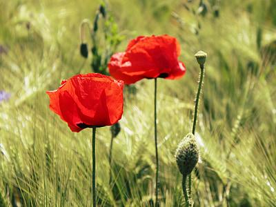poppy, cereals, cornfield, field, red poppy, klatschmohn, field of poppies
