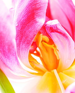 tulip, flower, blossom, wild flower, floral, summer, natural