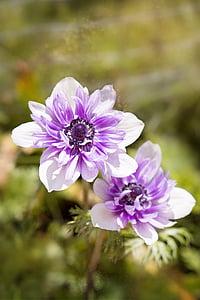 Anemone de, color porpra-blanca, bi color, anemone de bicolor, flor, flor, pètals