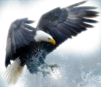 плешив орел, птица, Хищникът, раптор, дива природа, природата, Американски
