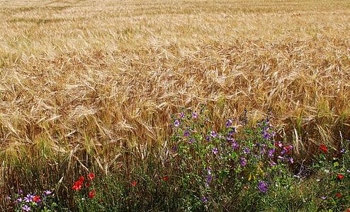 polia, pšenica, pšeničné polia, obilniny, EPI, poľnohospodárstvo, kultúr
