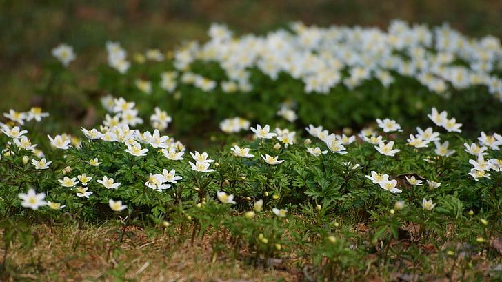 anemones, flors, anemone de fusta, primavera, molts, diversos