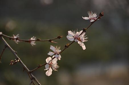 plommon, gren, vit blomma, våren