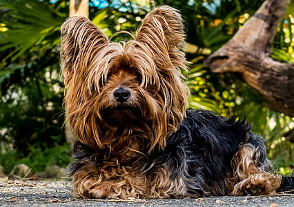 dog, small dog, pets, animal, yorkshire Terrier, cute, outdoors