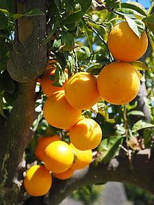 oranges, fruits, oranger, agrumes, arbre, feuilles, esthétique