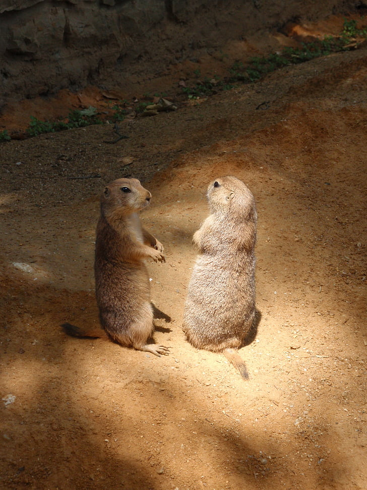 animal, zoo, the prague zoo, prairie dogs, animals