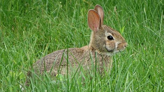 zec, trava, priroda, životinja, zec, jedna životinja, životinjske teme