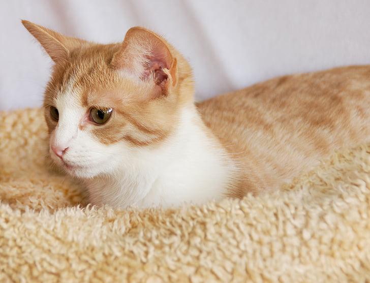 kat, gezellige, rood, wit, denk dat, ontspannen, Kitten
