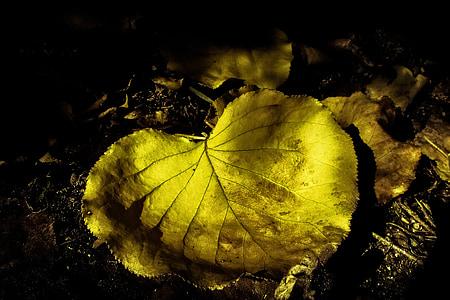 το φθινόπωρο, φύλλο, πτώση, φύση, Κίτρινο, σεζόν, φθινοπωρινά φύλλα