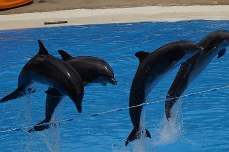 Дельфіни, плавати, Дельфін, морські ссавці, meeresbewohner, тварин, вода істота