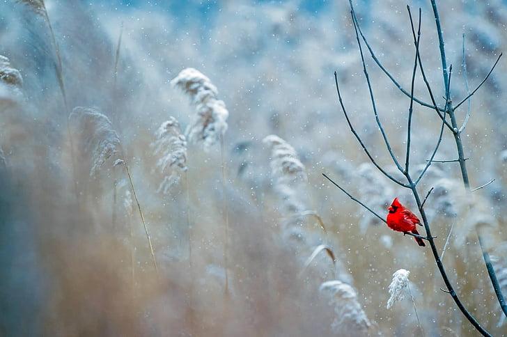 Kardinal, kuş, yaban hayatı, kar, Kış, Frost, doğa