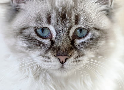 котка, домашна котка, млад котка, коте, животните, око, домашни любимци