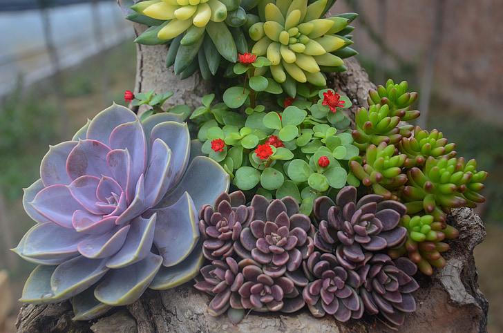 plant, succulenten, bloem, natuur, succulente installatie