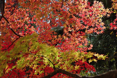 autumn, maples, autumnal leaves, colorful, fall of japan
