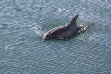 delfinov, ribe, Ocean, morje, živali, Marine, narave
