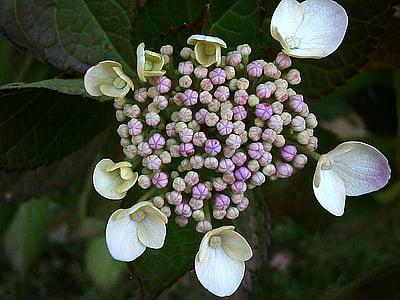 hydrangea, bud, purple, white, flowers, bush, blossom