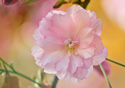 flor, flor, flor del cirerer, flor del cirerer japonès, cirera japonesa, primavera, macro