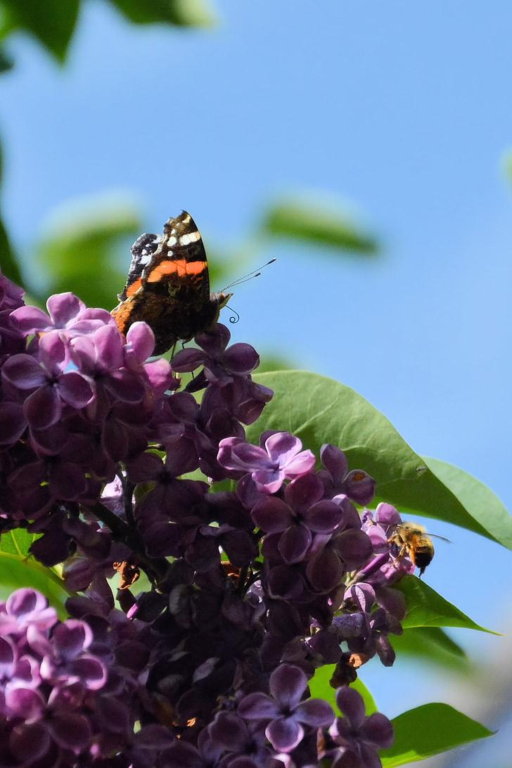 liliowy, Motyl, Atalanta, wiosna, kwiaty bzu