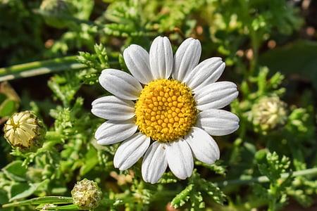 Kamille, Blume, Natur, Anlage, Blüte, Kraut, Bloom
