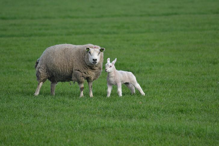 Trang trại, con cừu, thịt cừu, vật nuôi