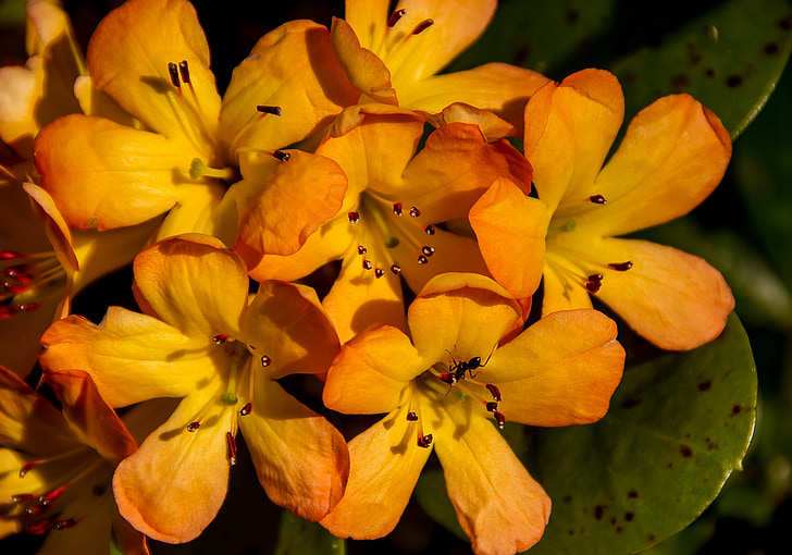 rhododendron, vireya, flowers, bloom, orange, yellow, red