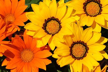 lase Honiaras asuvas, krüsanteem teenetemärgi, lilled, taimed, loodus, dicotyledon, krüsanteem