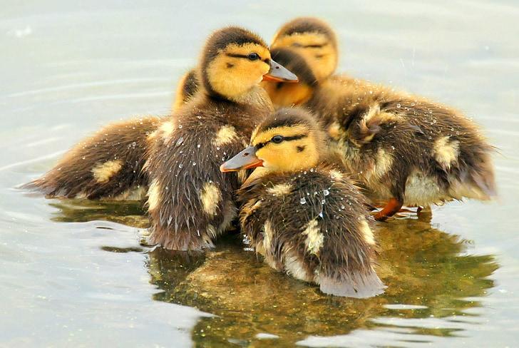 Tőkés kiskacsák, kacsa, madarak, babák, vadon élő állatok, természet, víz
