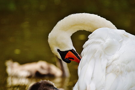 swan, white, bird, water, white swan, water bird, animal