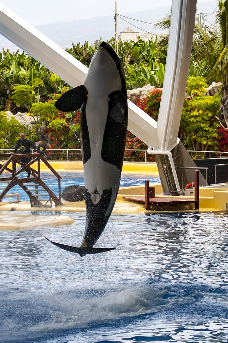 Kanarski otoci, Tenerife, loro park, Orca, ubojica