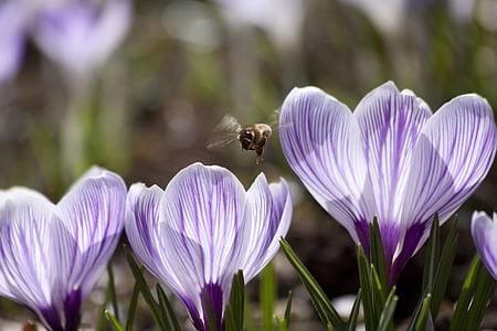 spring, crocus, schwertliliengewaechs, spring crocus, flowers, blossom, bloom