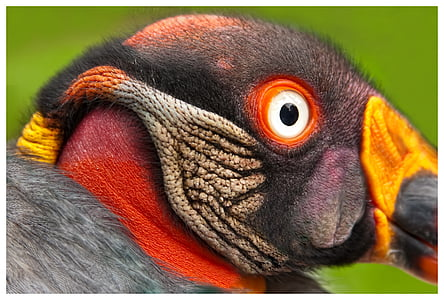 king vulture, bird, bird of prey, colorful, raptor, adler, animal world