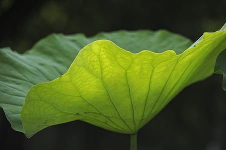 Lotus lístia, žily, priepustnosť svetla, Príroda, Leaf, rastlín, Zelená farba