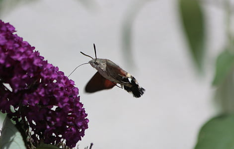 hummingbird hawk moth, butterfly, fly, moth, summer, nature, proboscis