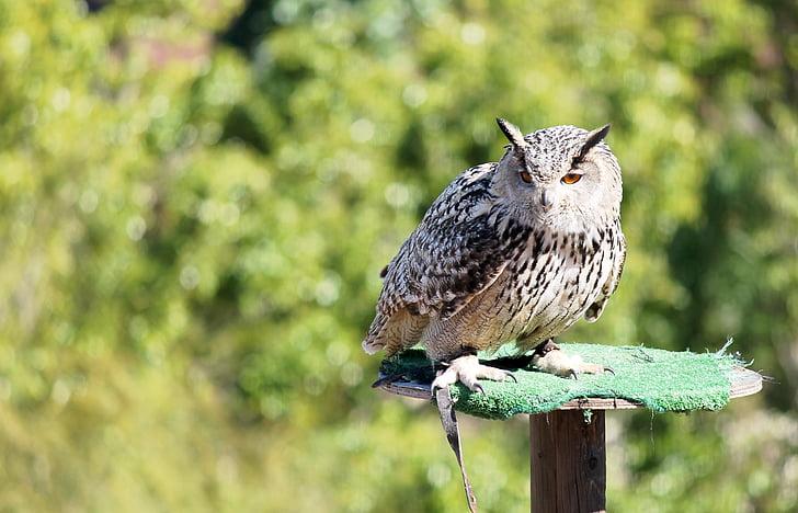 Ave, грабливи птици, птица, пера, връх, Buho, бухал