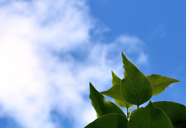 niebo, pozostawia, liliowy, Natura, błękitne niebo, roślina
